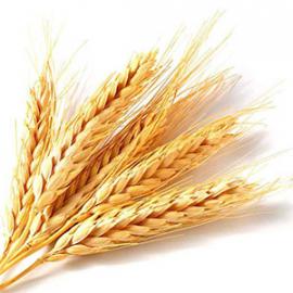 Насіння пшениці