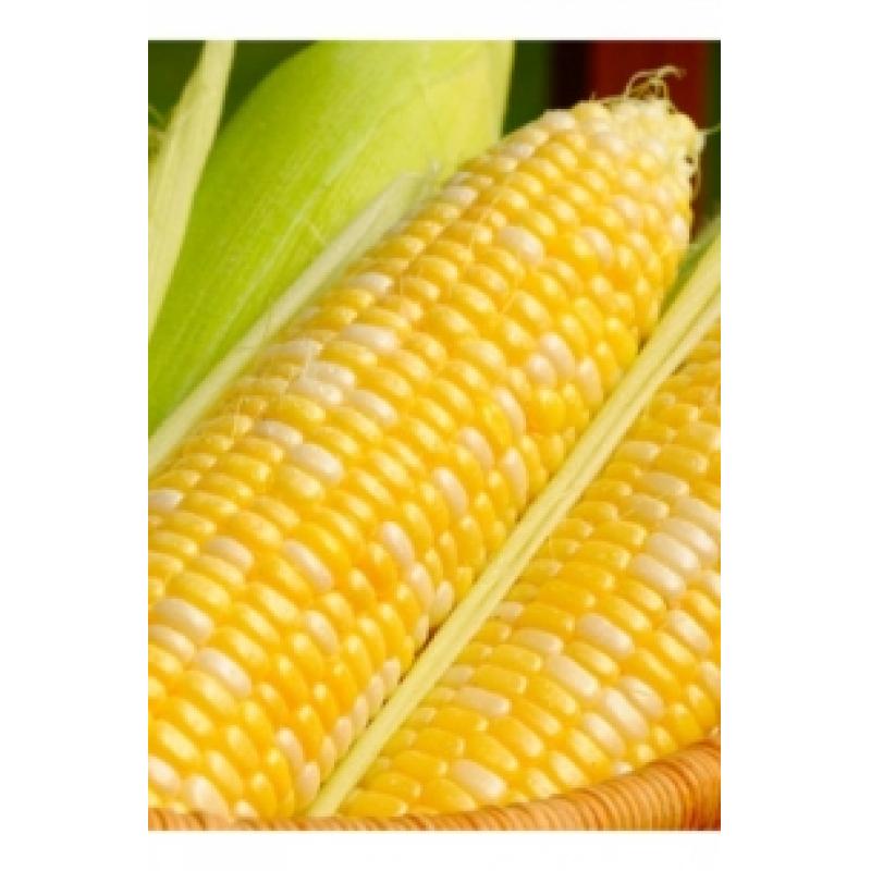Насіння кукурудзи цукрової Мореленд GSS 1453 F1, суперсолодка