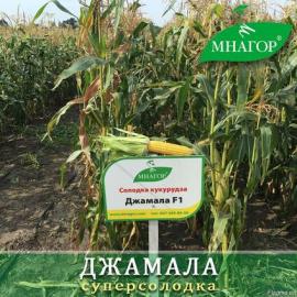 Насіння кукурудзи цукрової Джамала F1 (ранній 73–75 днів)