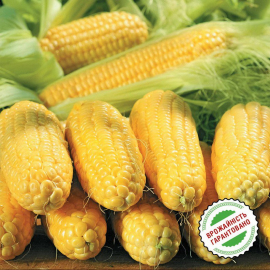 Насіння кукурудзи НК Неріса, середньоранній (ФАО 200)