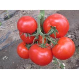Насіння томата Силует F1, 70-75 дн.