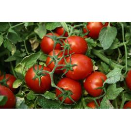 Насіння томата Чіблі F1 65-70 дн.