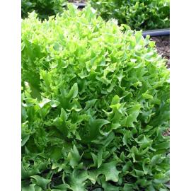 Насіння салату качанного Фрілліс (Frillice)